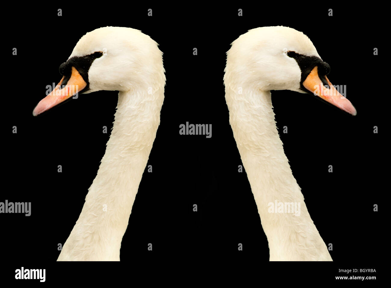 two swans heads looking in opposite directions - Stock Image