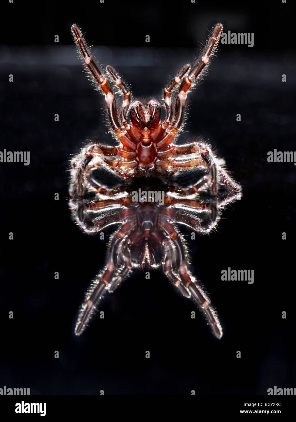 Deadly Funnel Web Spider Australia - Stock Image