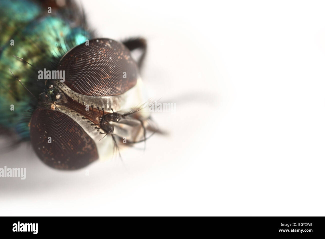 Dead blow fly - Stock Image