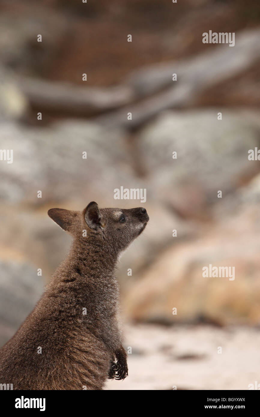 Red-necked wallaby Australia - Stock Image