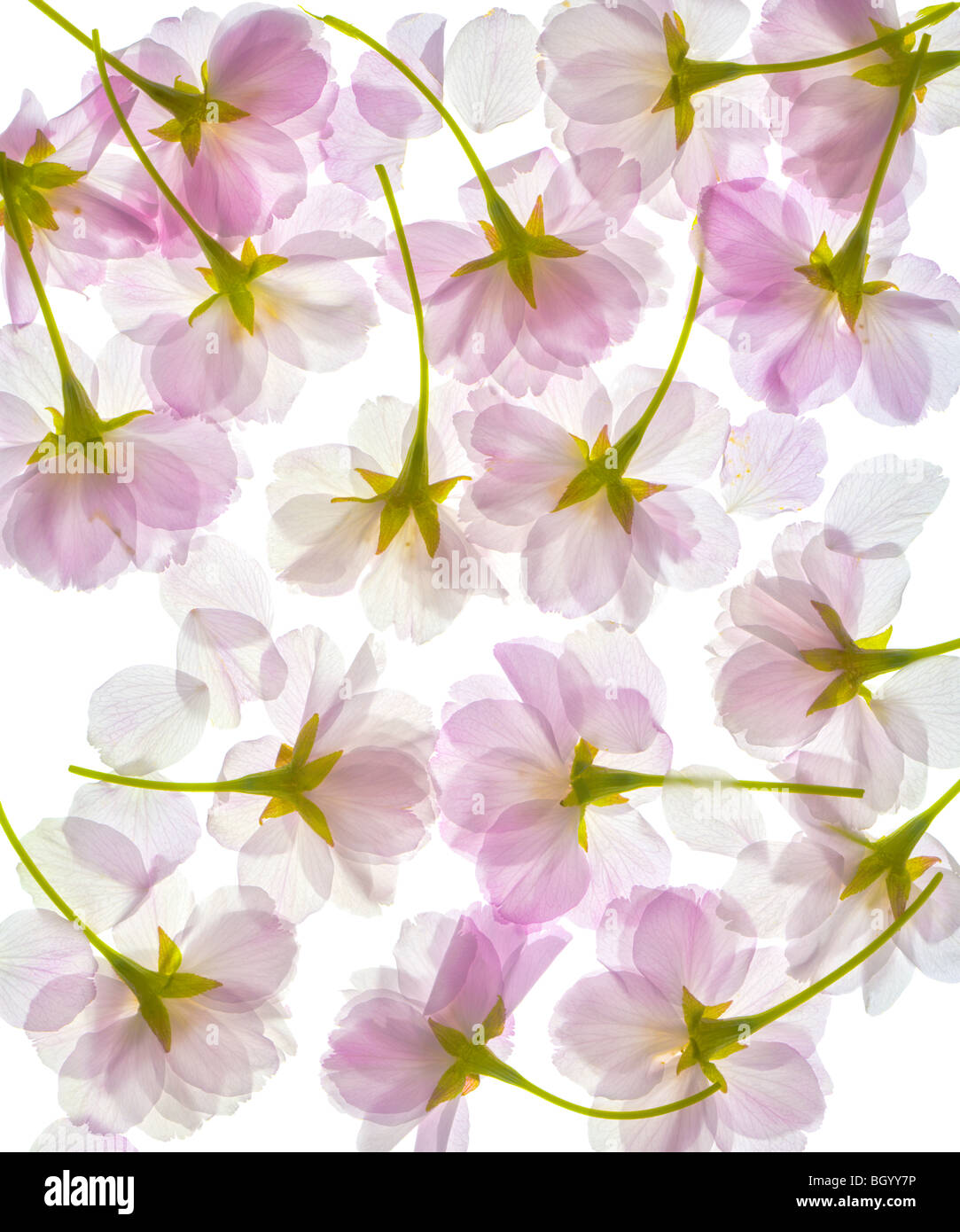 Completely translucent cherry blossom, blossoms, flowers petals. Pattern isolated on a white background. Close up. - Stock Image