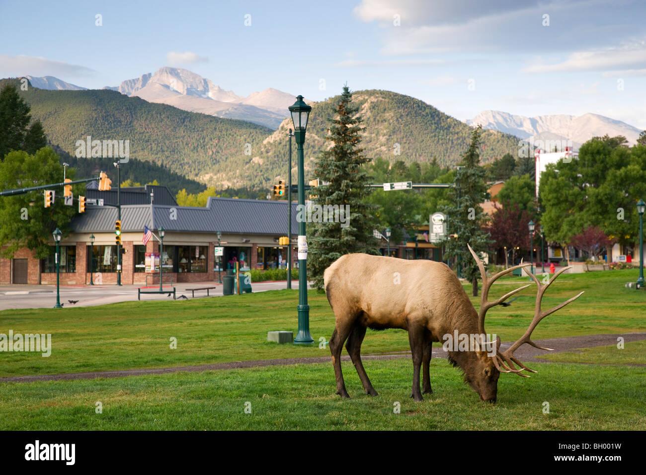 Elk in Estes Park, gateway to Rocky Mountain National Park, Colorado. - Stock Image