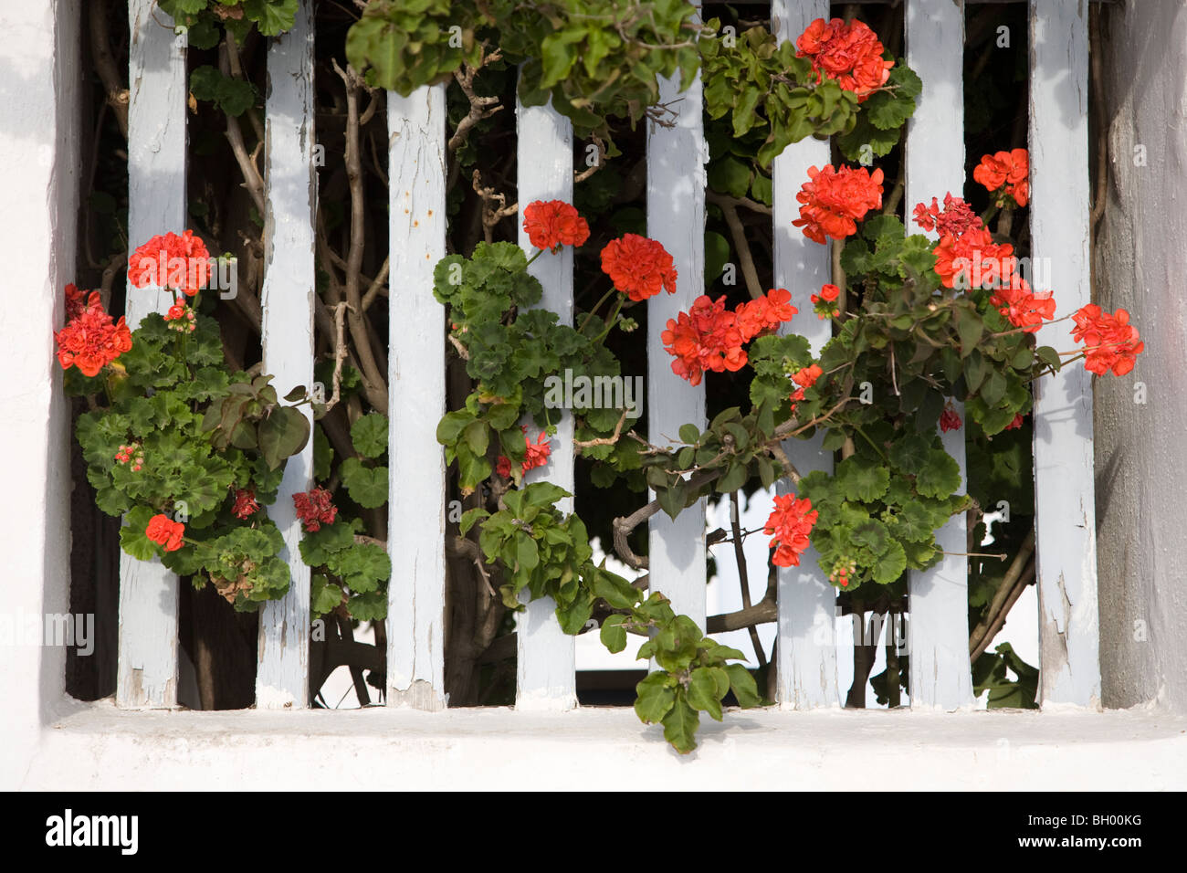 Geraniums growing through white picket fence - Stock Image