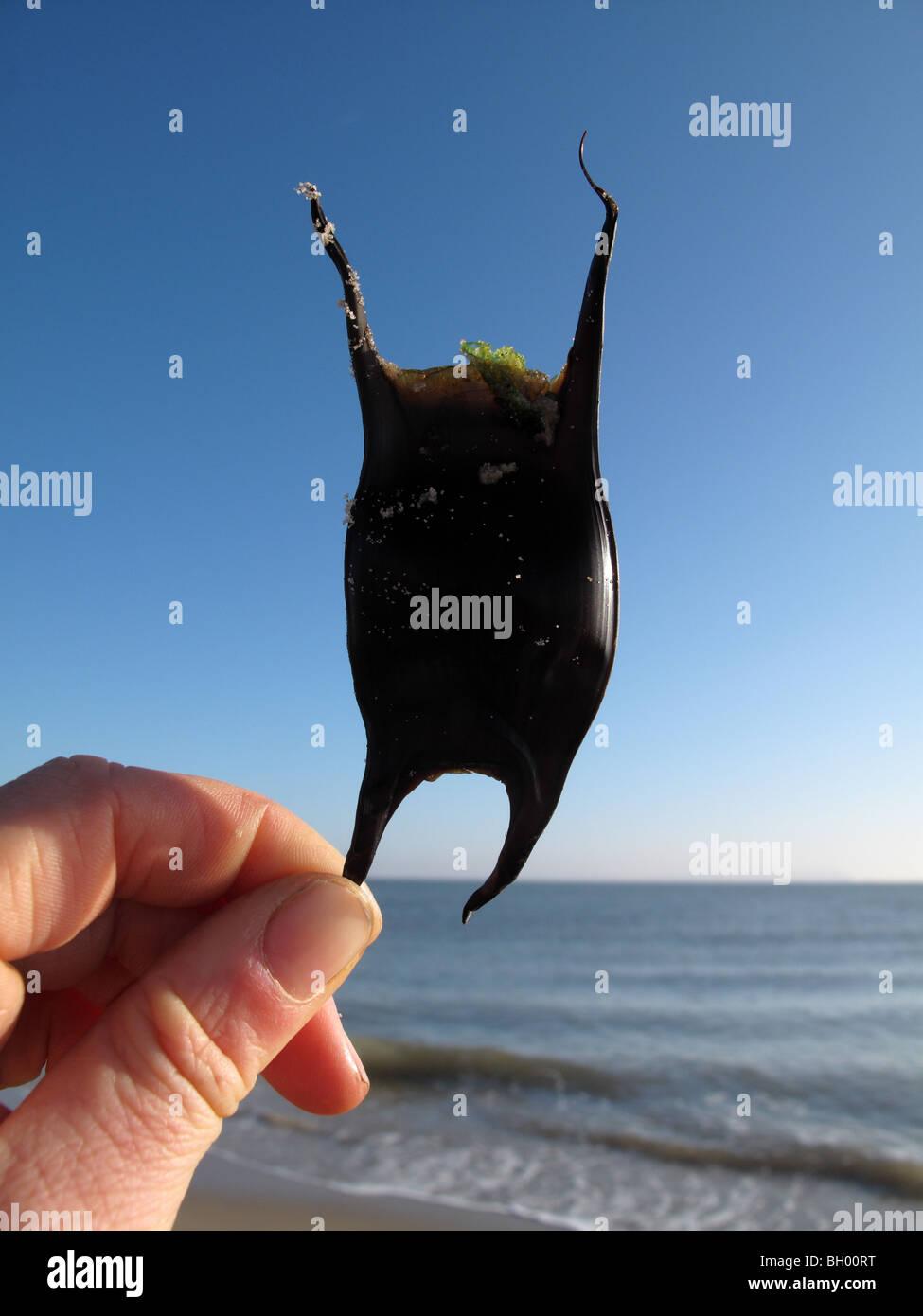 Mermaid's purse - Stock Image
