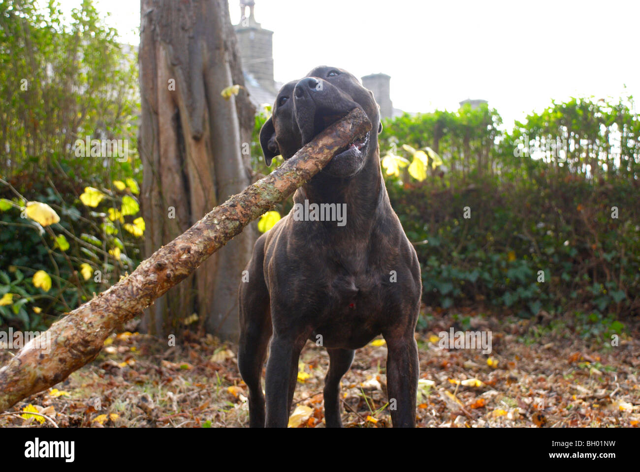 Bruno the staffy chewing on a stick - Stock Image