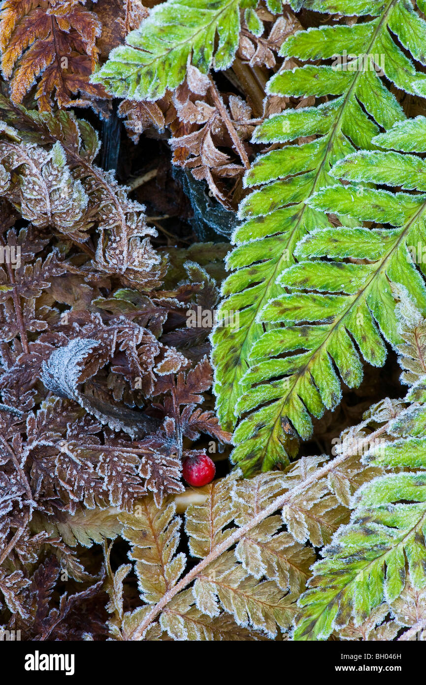 Fern leaves and other withered leaves in frost. A red rowanberry on the ground - Stock Image