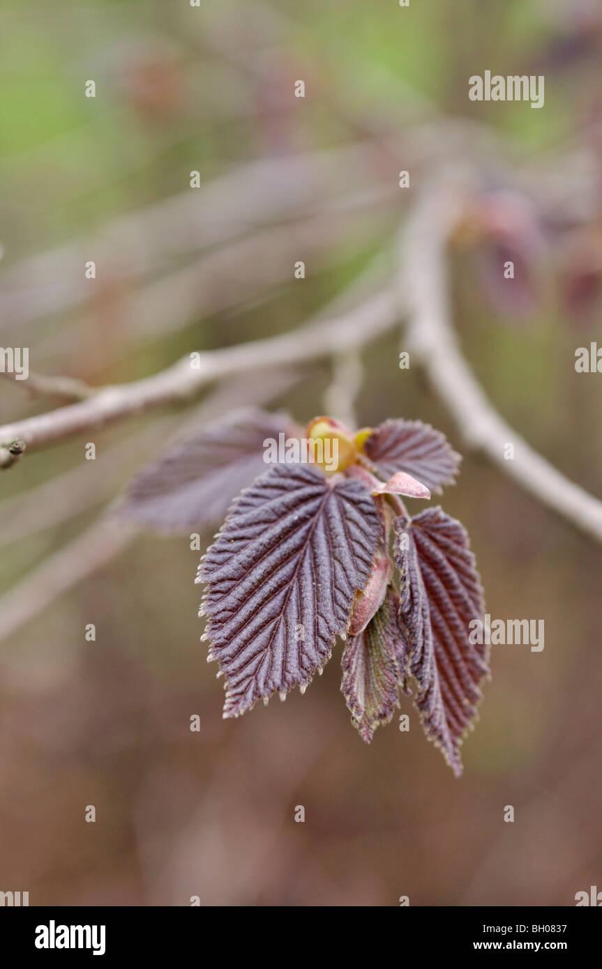 Filbert (Corylus maxima 'Purpurea') - Stock Image