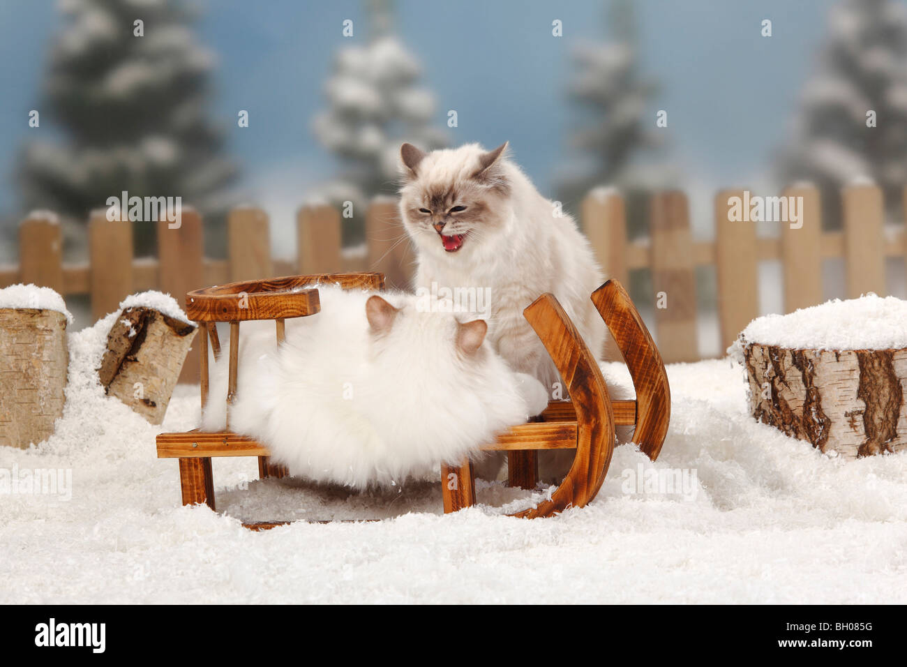Sacred Cat of Birma, pair, chocolate-tabby-point and blue-tabby-point / Birman, toboggan - Stock Image