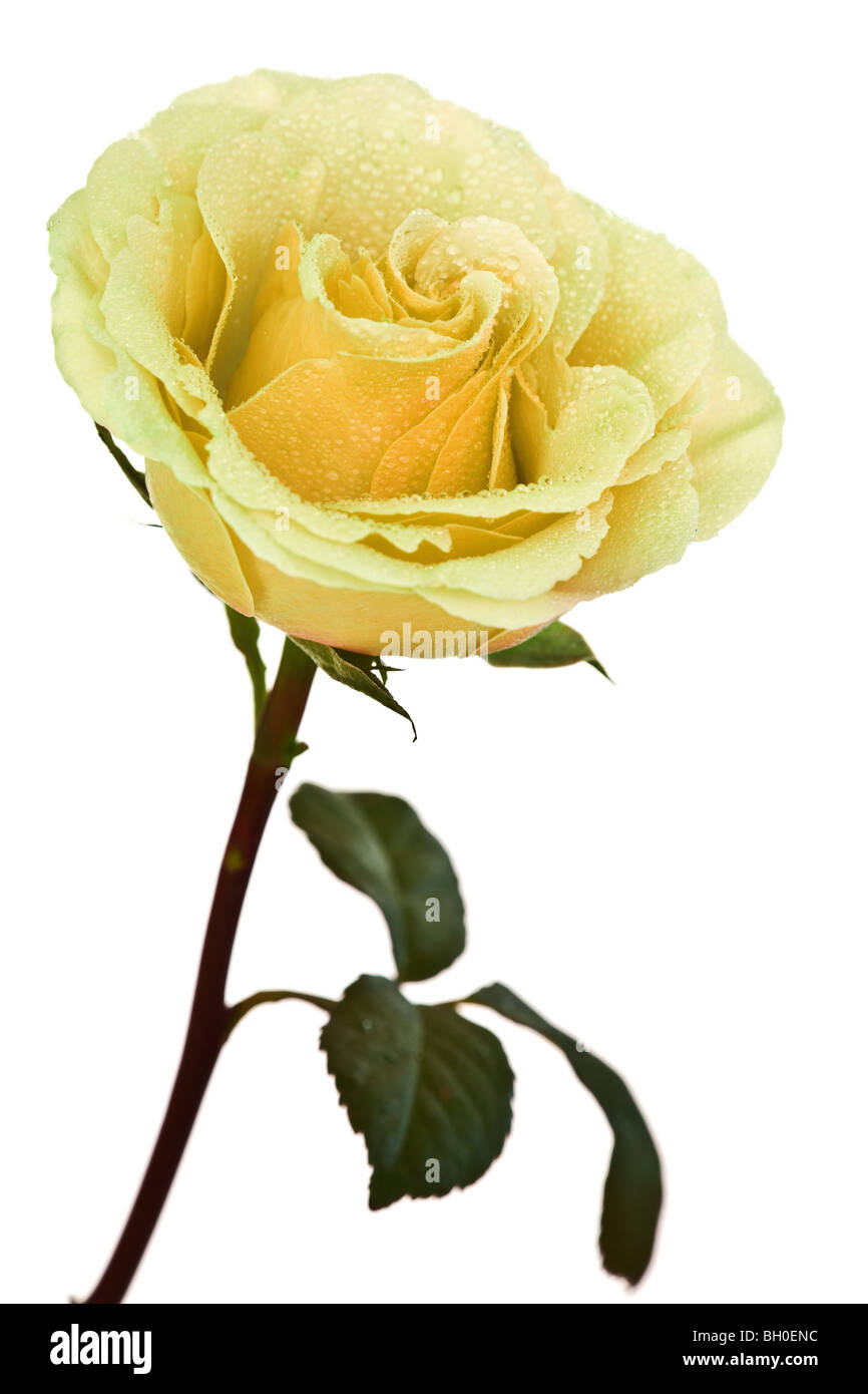 yellow rose isolated on a white background - Stock Image