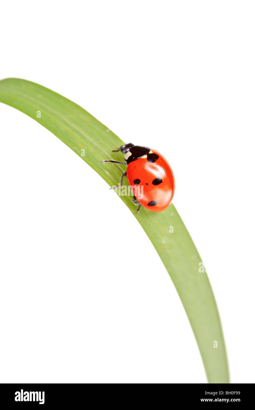 Ladybird walking on a leaf isolated on white background - Stock Image