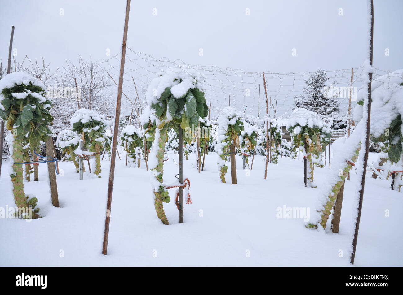 Vegetable (Brussels sprouts) plot covered in snow (damage caused by winter weather) - Stock Image