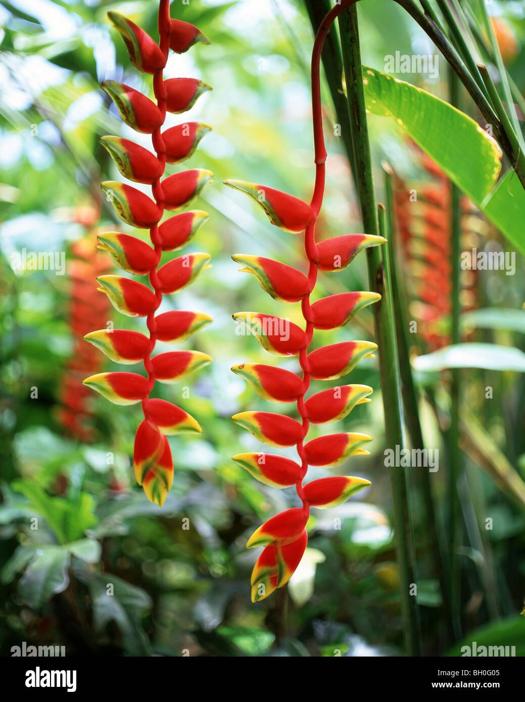Heliconia rostrata (Lobster claw, False-bird-of-paradise) plant, Upolu Island, Samoa - Stock Image