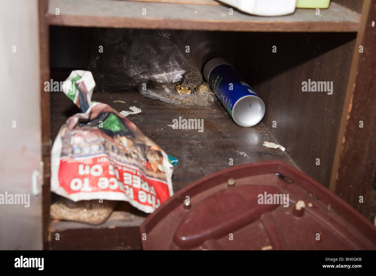 Fossilized squirrel found in kitchen cabinet. Found while executing narcotics related search warrant. - Stock Image
