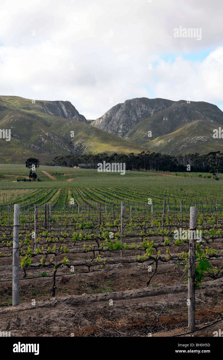 Wineyard vines growing along the Klein Karoo Wine Route Southern Cape South Africa wine regions Cape Route 62 - Stock Image