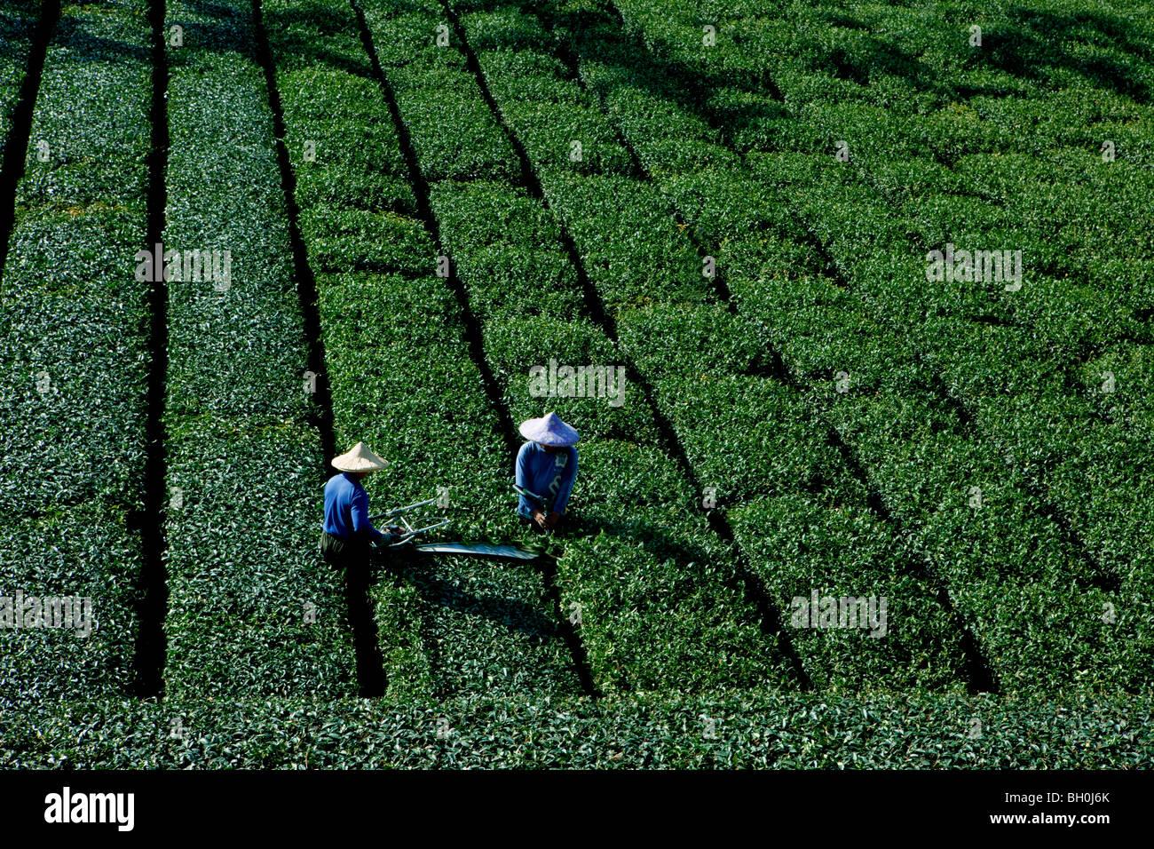 Tea farmers working on a tea plantation, Rueili, Alishan, Taiwan, Asia - Stock Image