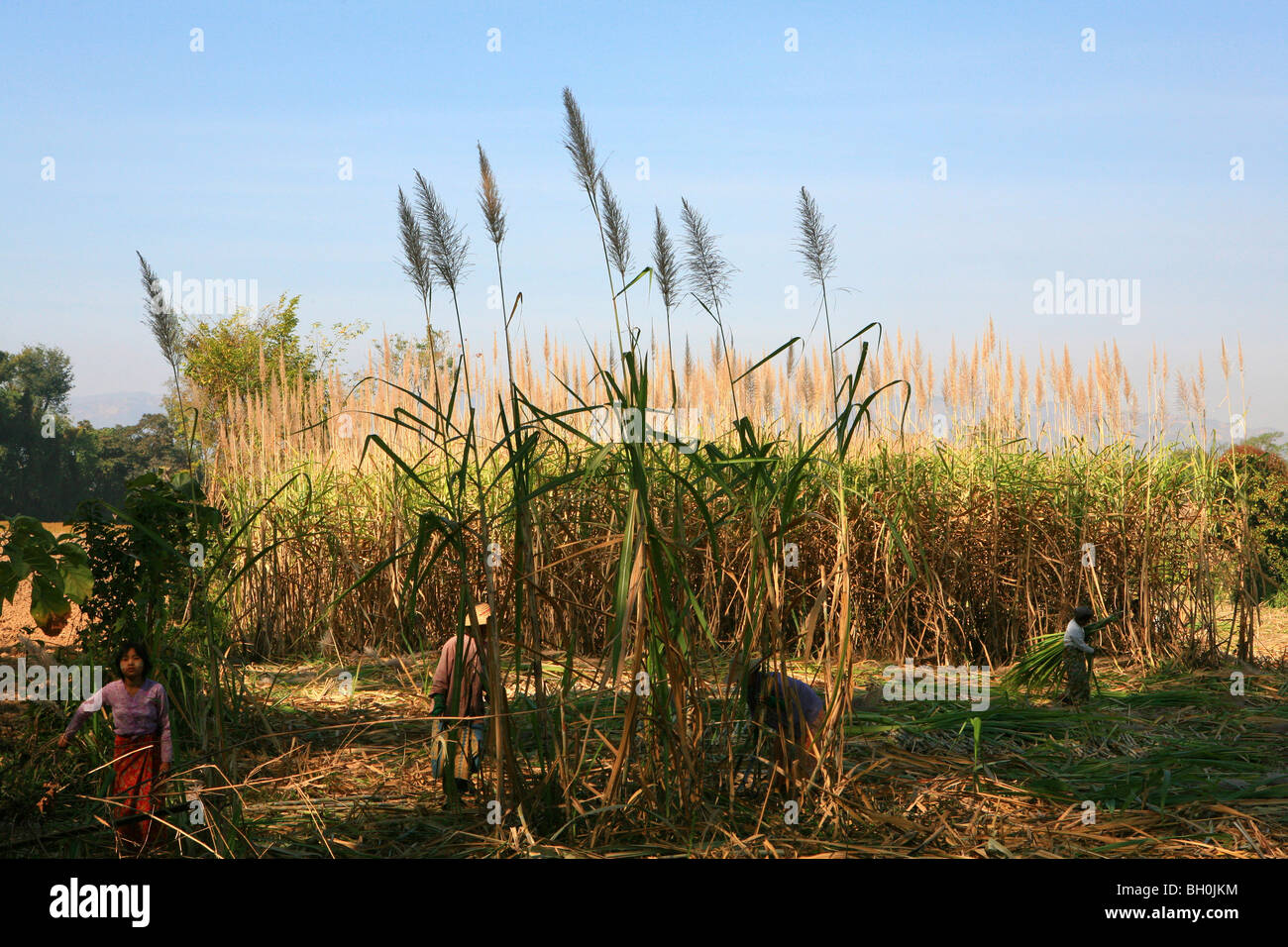 Workers on a sugarcane field, Shan State, Myanmar, Burma, Asia - Stock Image