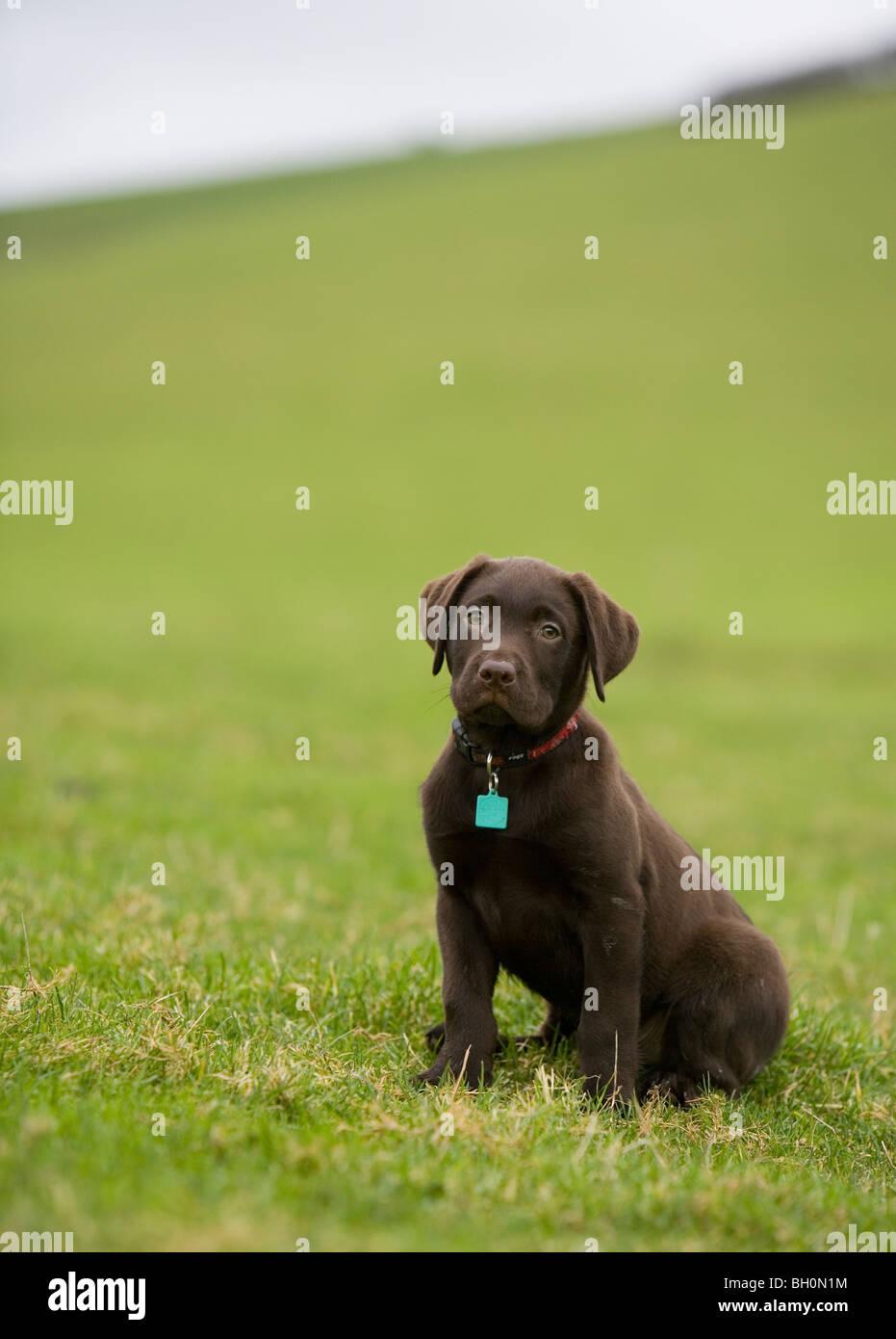Chocolate Labrador Dog Single young male in a field Portasham - Stock Image
