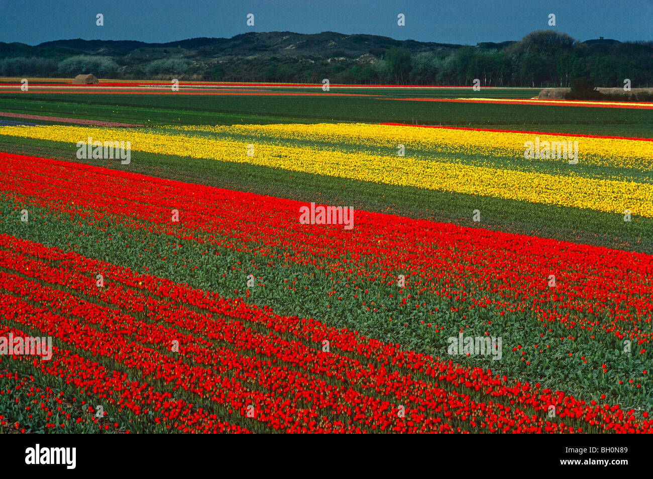 The tulip fields of Holland form amazing carpets in multi-color seen from the air. Stock Photo
