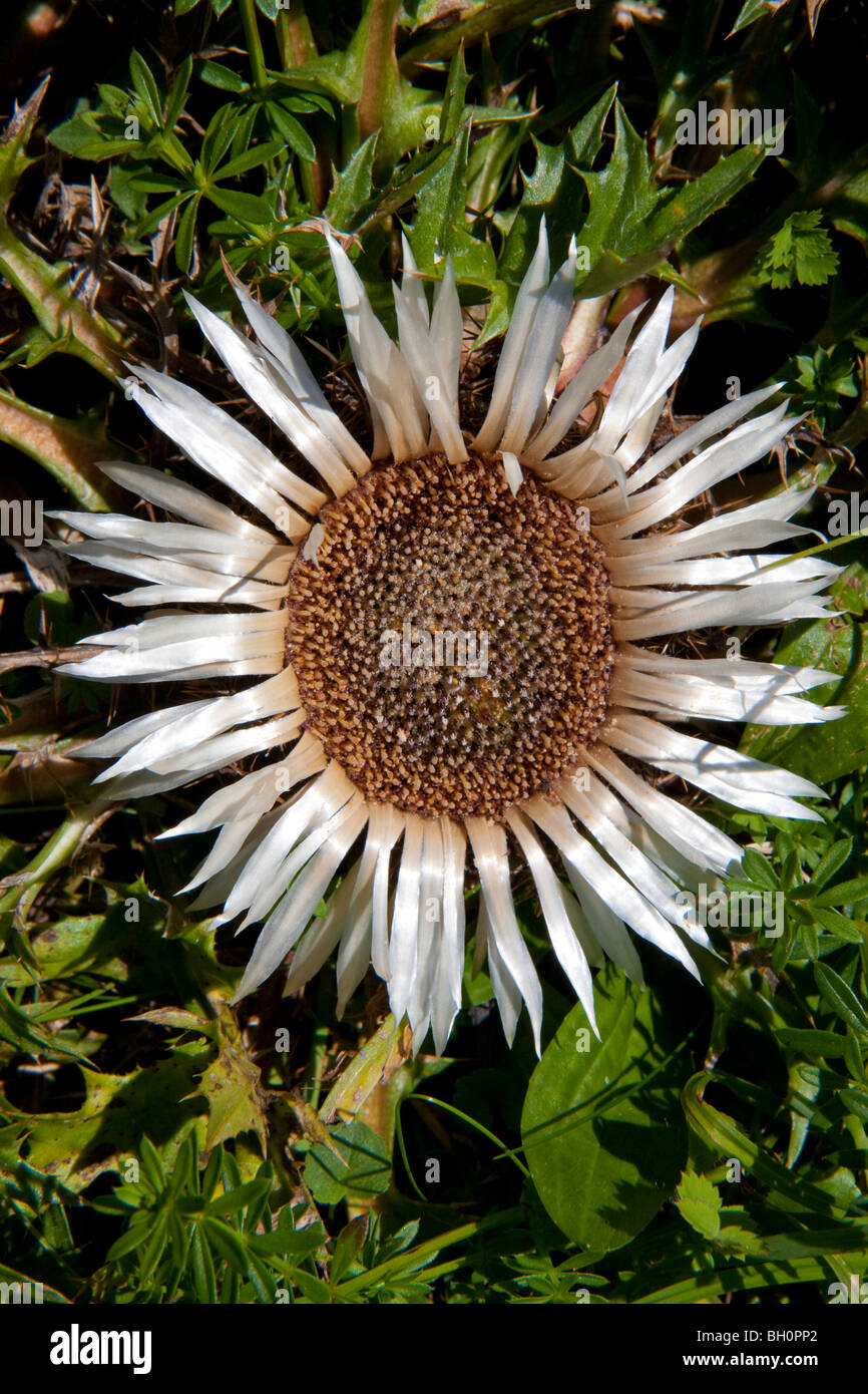 CARLINE THISTLE, LAT. CARLINA ACAULIS, BAVARIA, GERMANY - Stock Image