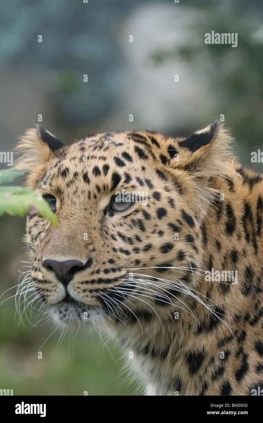 Amur Leopard in captivity - Stock Image