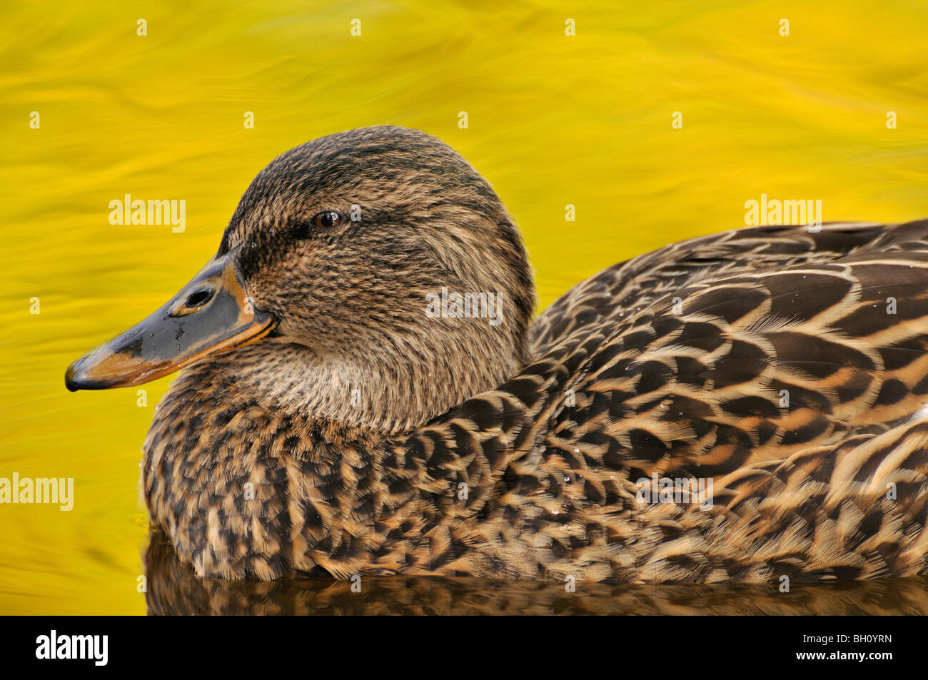 Mallard Duck Resting Stock Photos Mallard Duck Resting