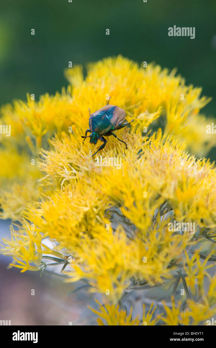 a green jewel beetle rests on a bright yellow Chamisa plant, Albuquerque, New Mexico - Stock Image
