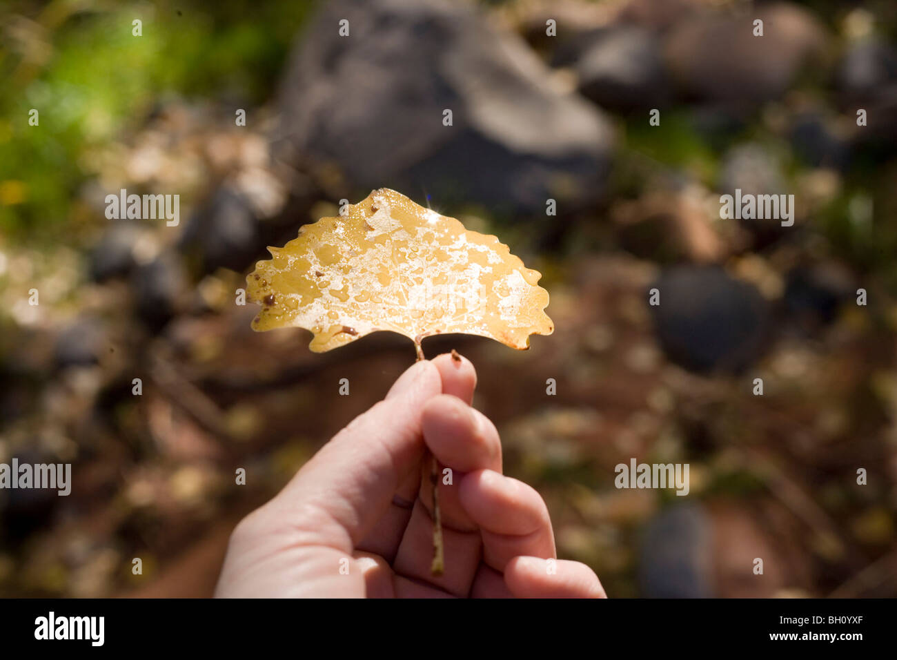 dew drops of water on a yellow cottonwood leaf - Stock Image