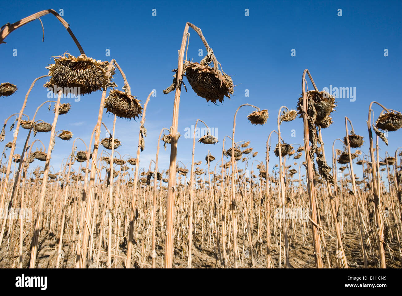 field of dead sunflowers against blue sky - Stock Image