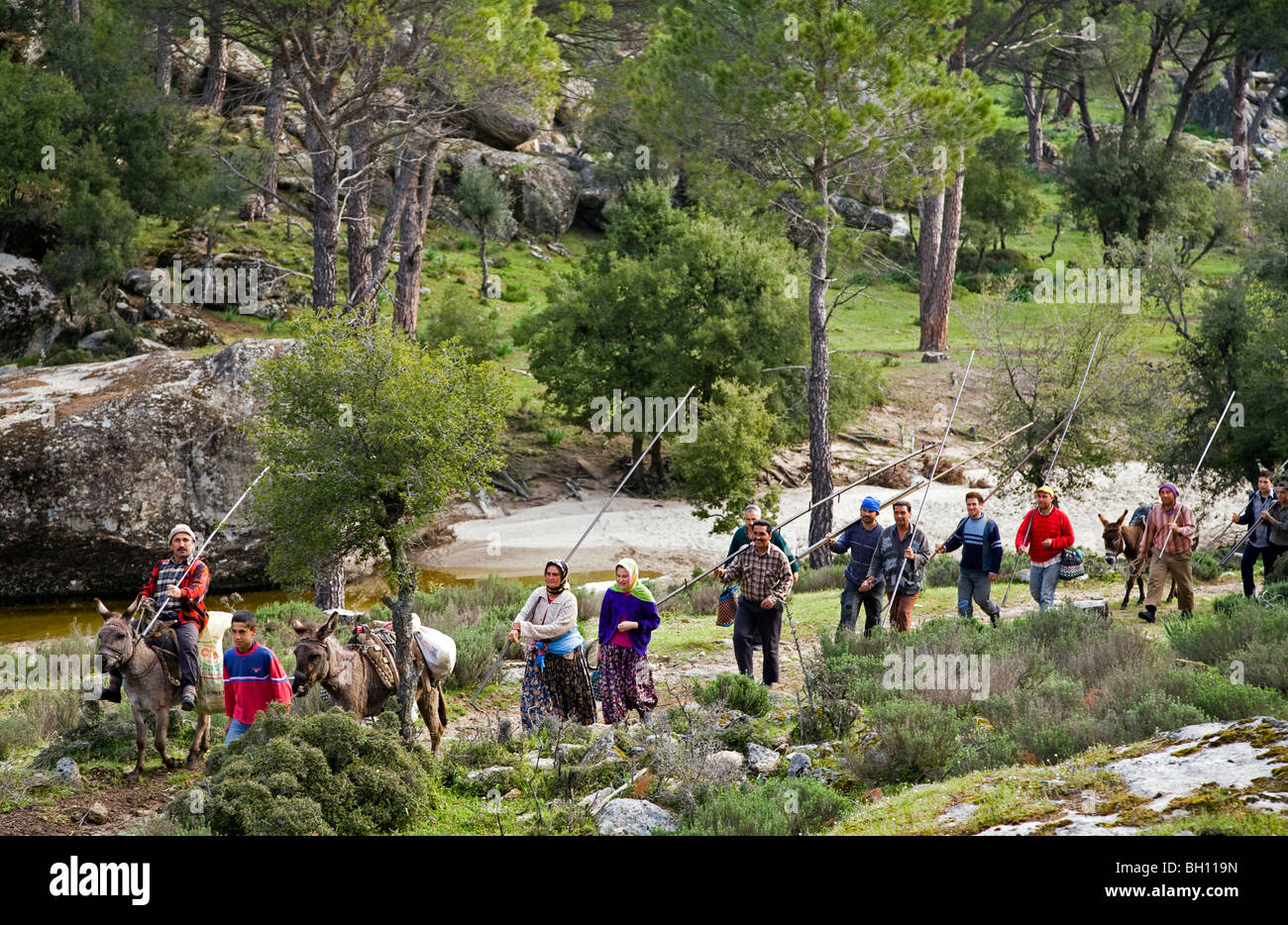 Local people going for conifer harvest, Bafa Lake National Park Turkey - Stock Image