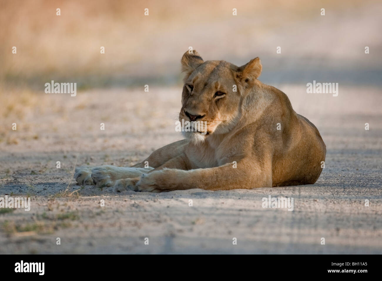 Portrait of a wild lion in southern Africa. The photo was taken in Zimbabwe's Hwange national park. Stock Photo
