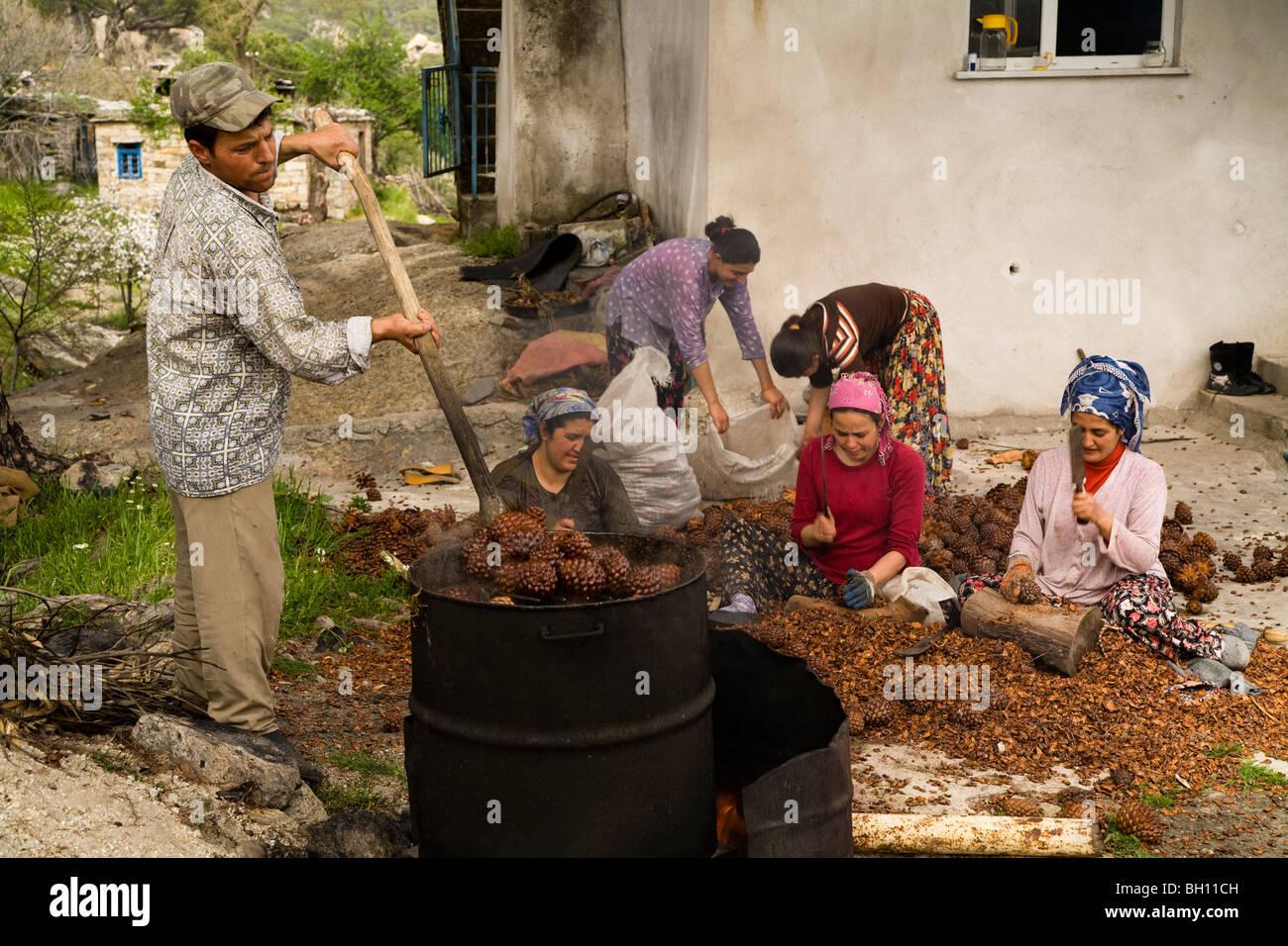 People seperating connifer seeds, Kapikiri Village Bafa Lake National Park Turkey - Stock Image