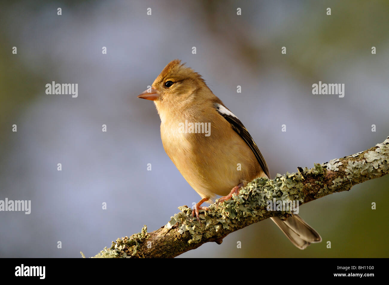 Male chaffinch with raised crest perching on a branch Stock Photo