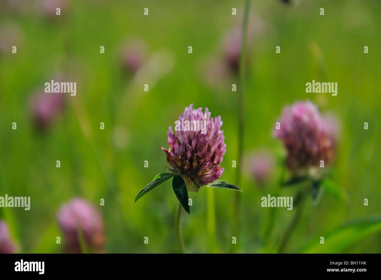 Close-up of red clover in grassy meadow - Stock Image