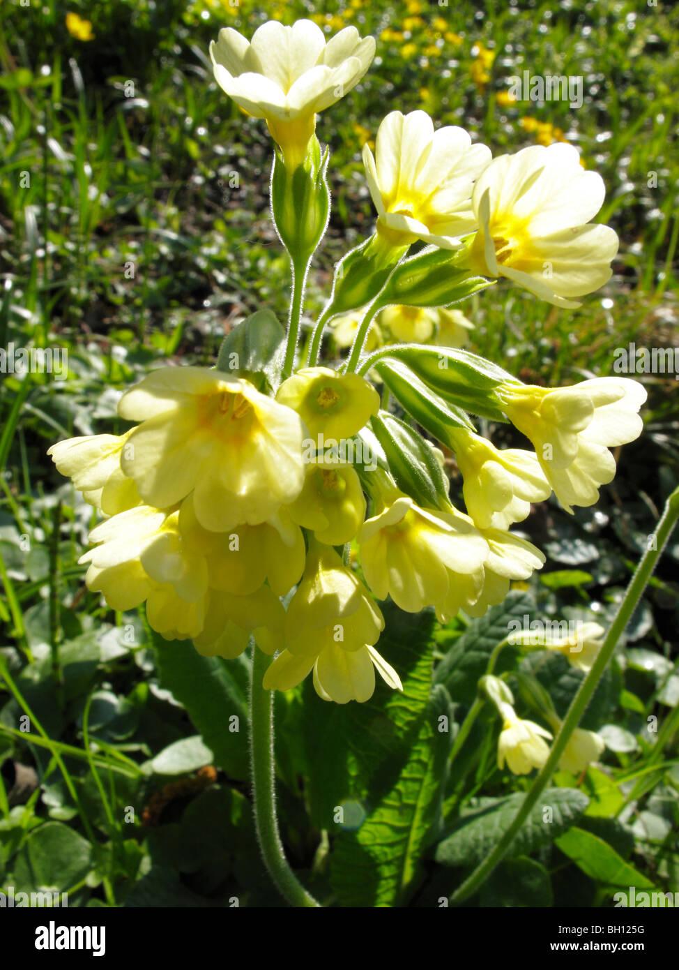 Cowslip (Primula veris) Stock Photo