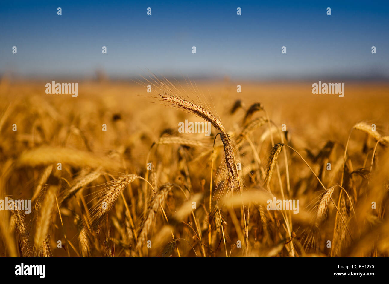 Beautiful landscape image of a wheat field - Stock Image