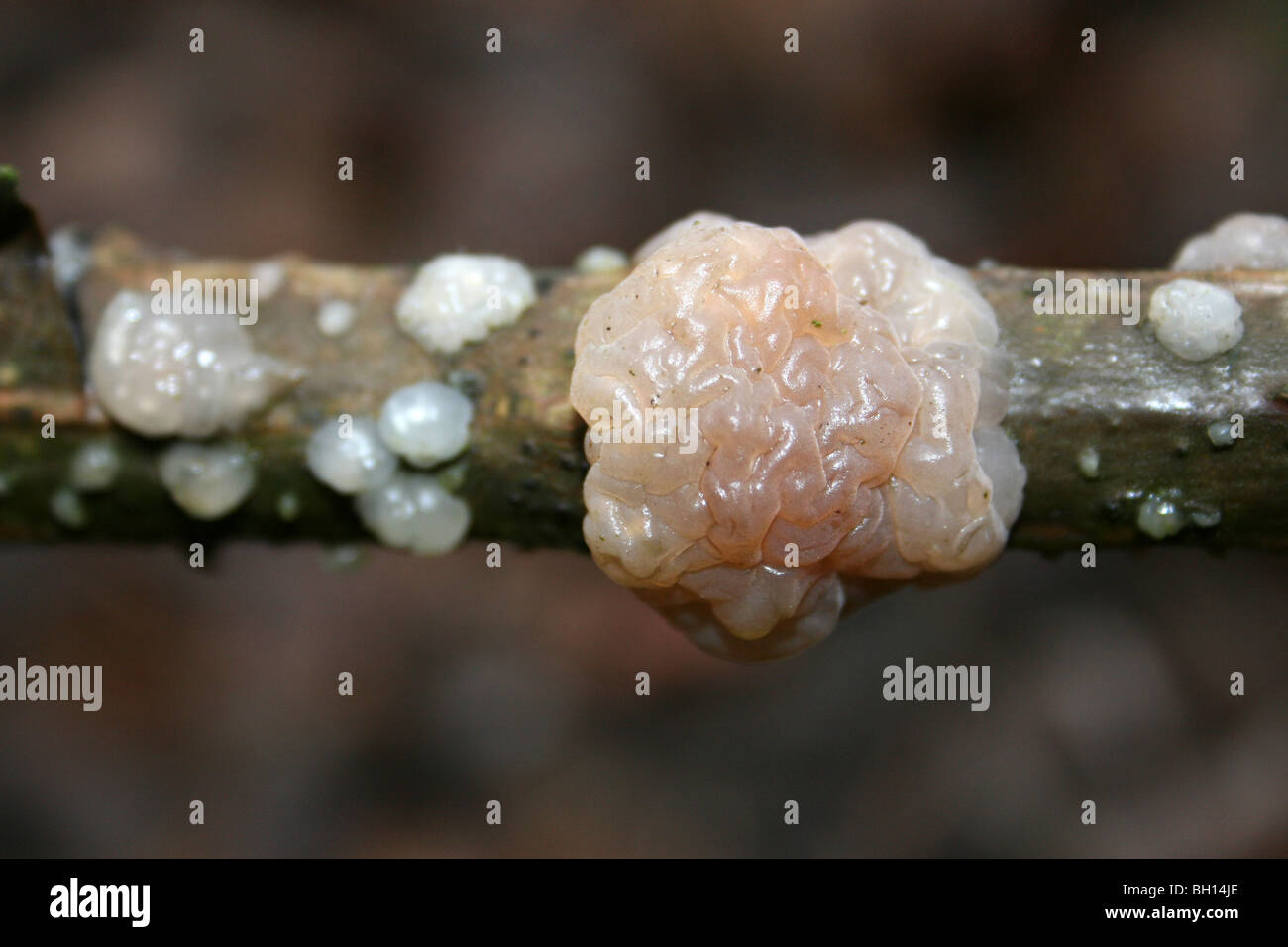 Crystal Brain Fungus Exidia nucleata Taken at Pennington Flash CP, Gtr Manchester, UK - Stock Image