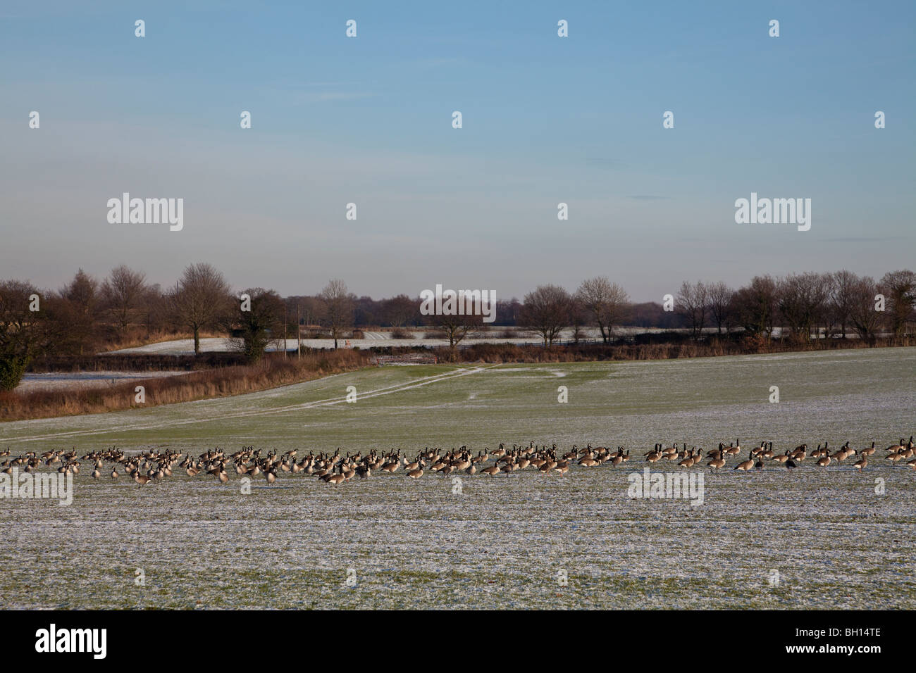 Canadian Geese (Branta Canadensis) looking for food in Winter. - Stock Image