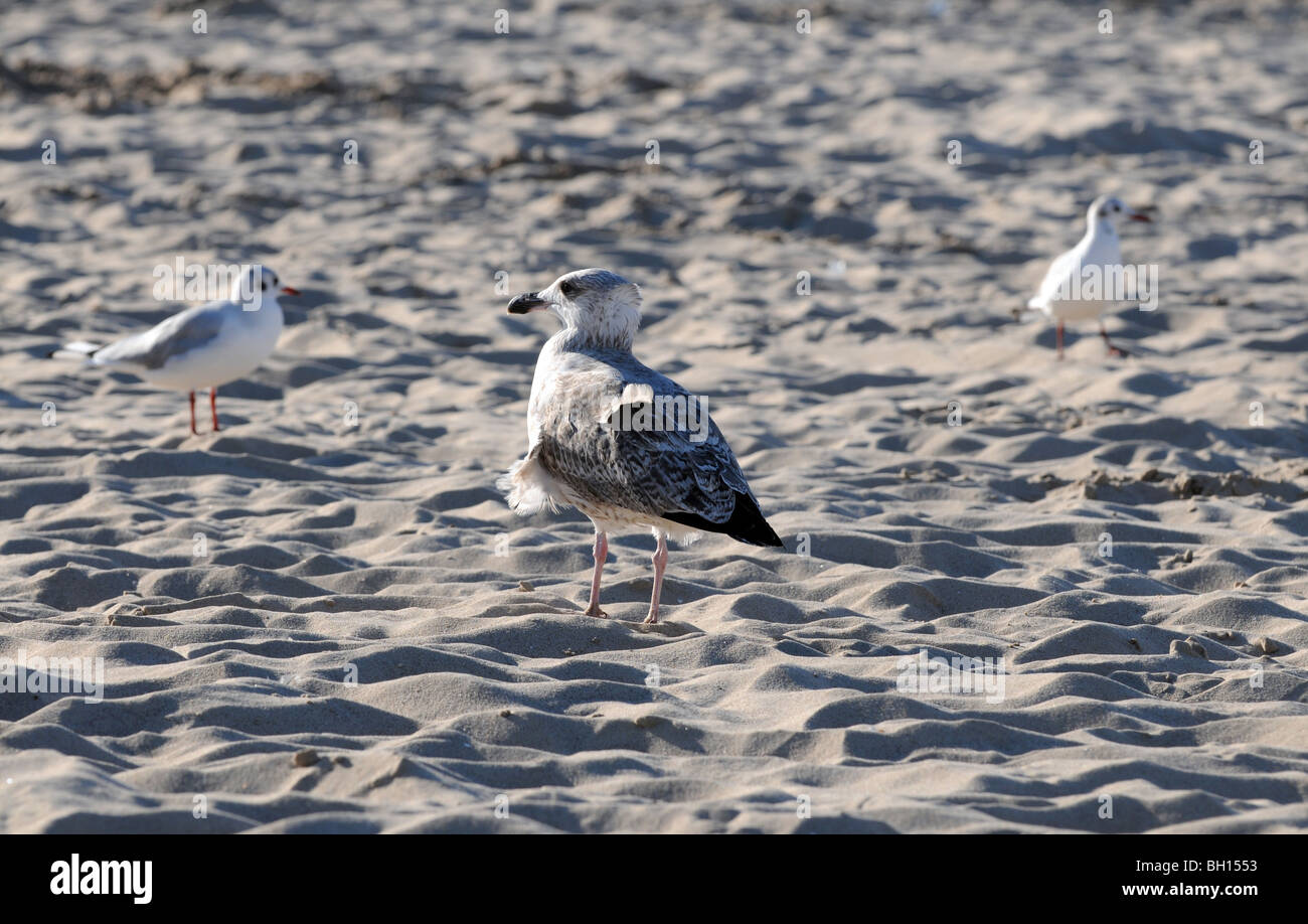Mew (probably young Herring Gull, Larus argentatus) walking on the beach at Baltic Sea, Swinoujscie, Poland Stock Photo