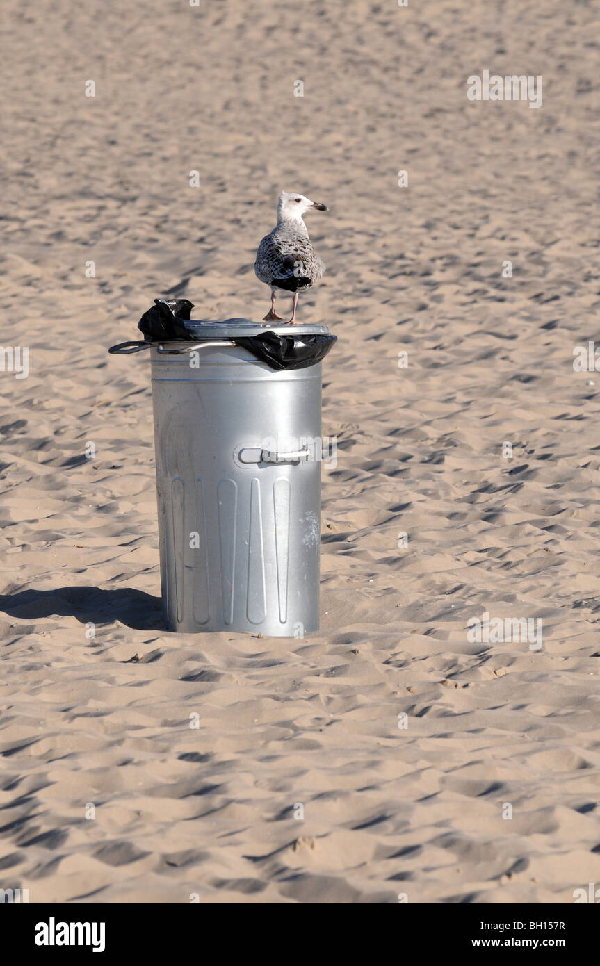 Mew (probably young Herring Gull, Larus argentatus) standing on wastebasket at Baltic Sea, Swinoujscie, Poland Stock Photo