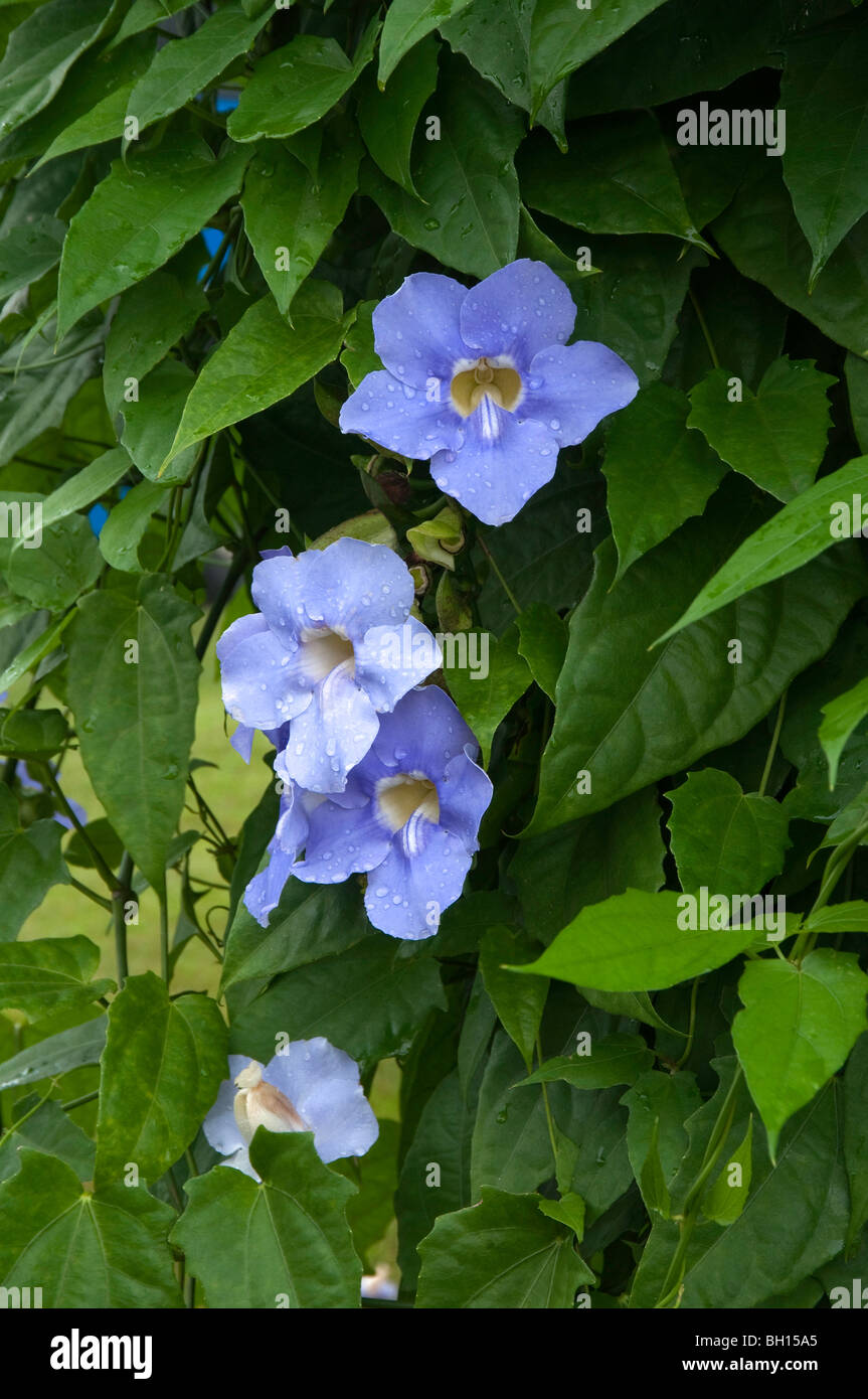 Thunbergia grandifloria,  Sky Flower, - Stock Image