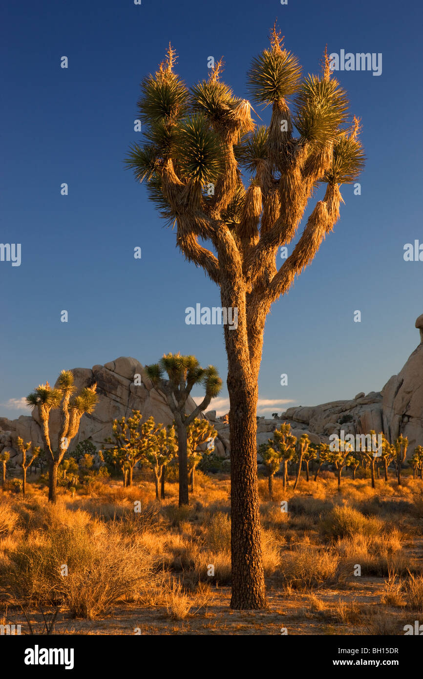 Joshua Tree National Park, California. - Stock Image