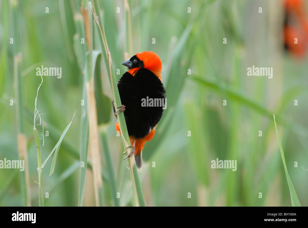 Male southern red bishop, Euplectes orix, showing off in reeds of wetland in Addo Elephant Park, South Africa - Stock Image