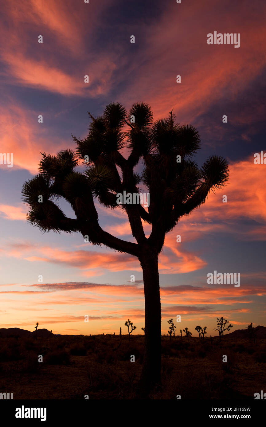 Joshua Tree at Joshua Tree National Park, California. - Stock Image