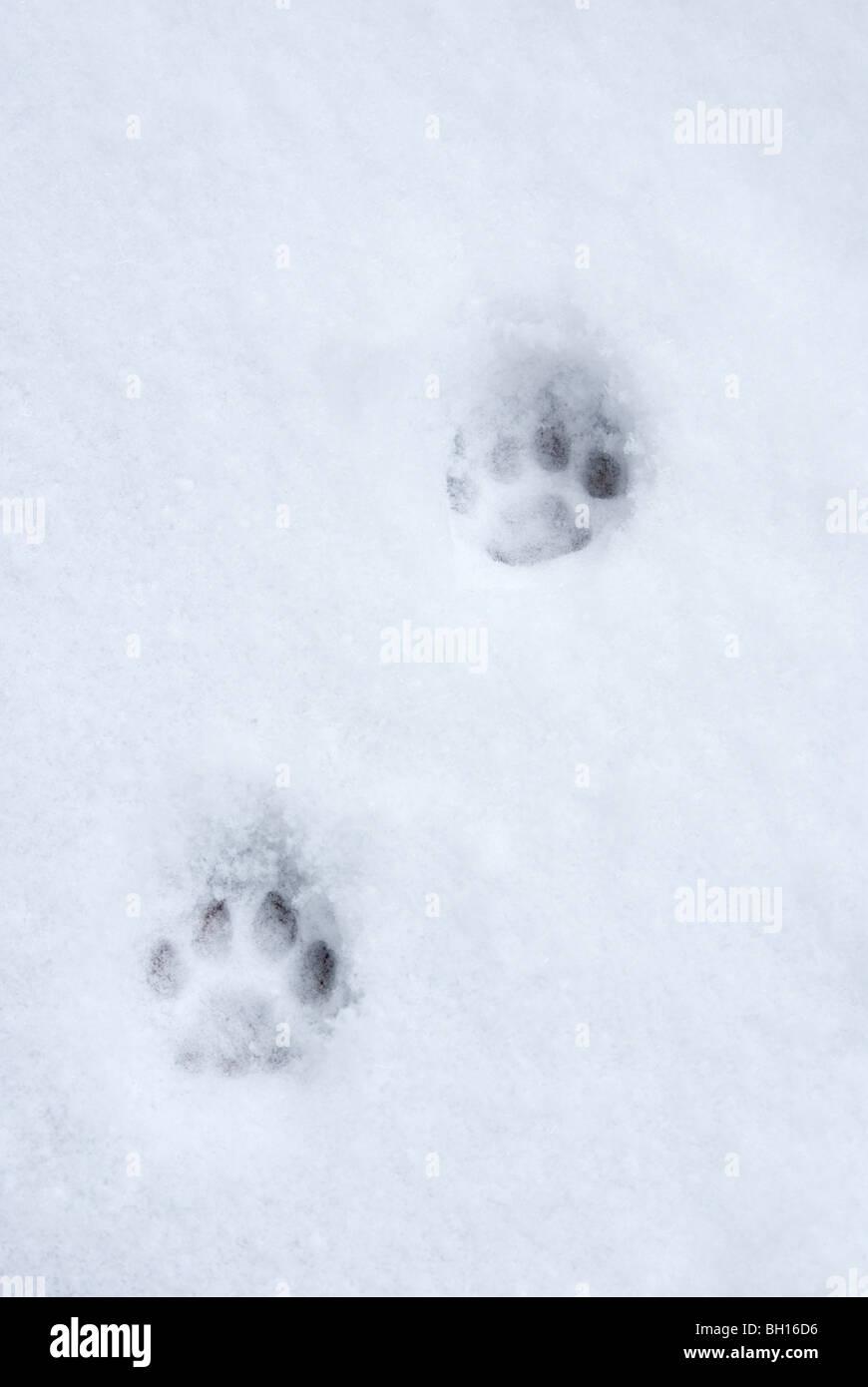 cat padprint in snow - Stock Image