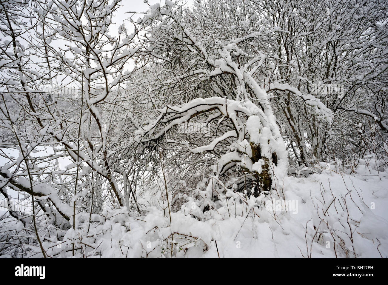 Deeply snow-covered bushes and trees in parkland - Stock Image