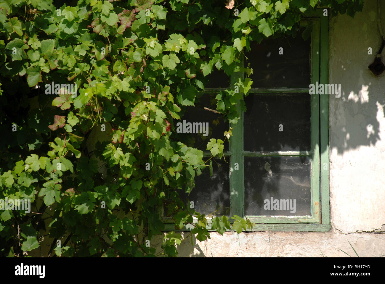 grapevine plant growing on a barn - Stock Image