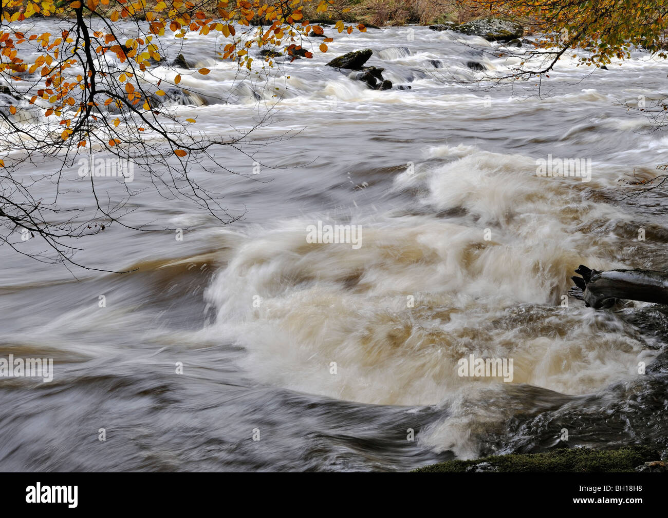 Beech leaves in autumn colours overhang a vigorous standing wave in the River Dochart near Killin, Perthshire, Scotland, - Stock Image