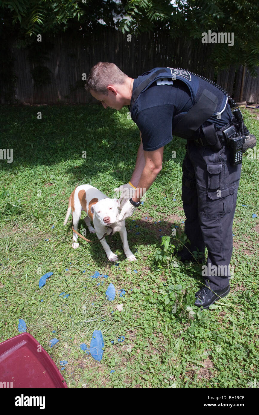 Police officer with pitbull found chained up in back yard. The dog was taken to a shelter for medical attention. - Stock Image