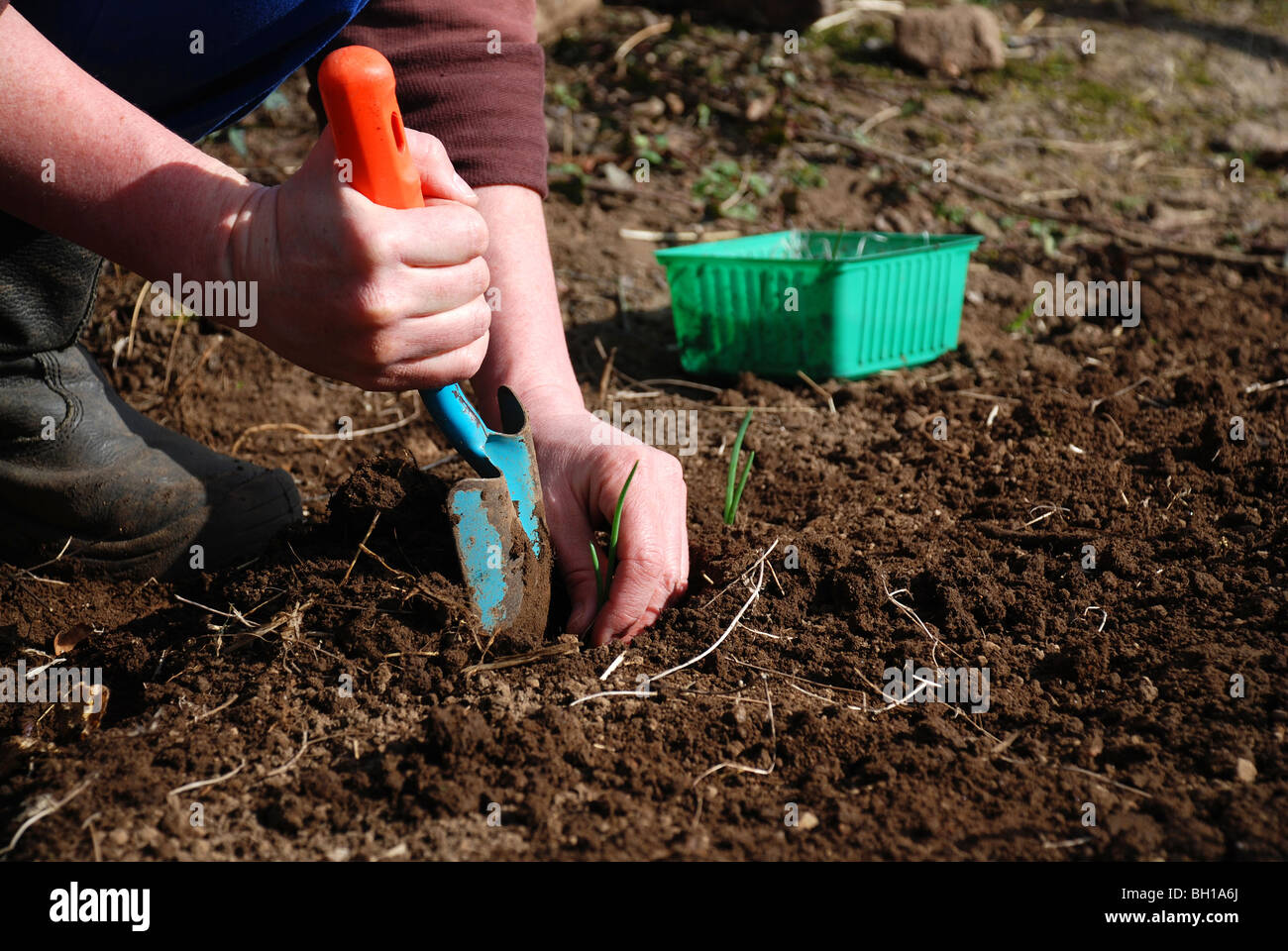 Planting onions with a shovel - Stock Image