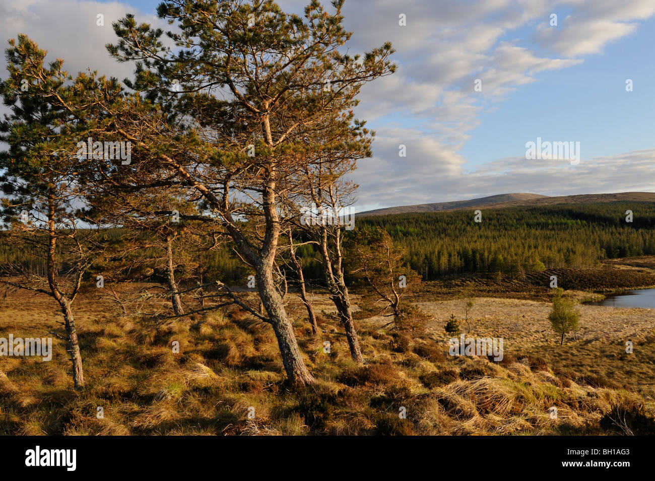 Evening light on landscape with pine-trees and distant conifer woodland near Ledmore, west Sutherland, Scottish - Stock Image